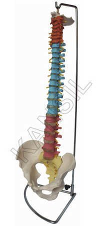 Didactic Flexible Vertebral Column with Pelvis
