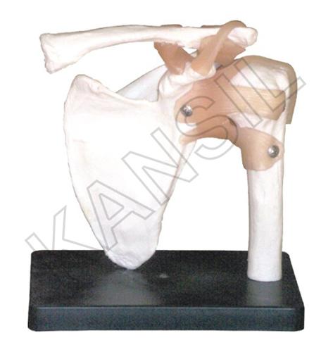 Shoulder Joint Model
