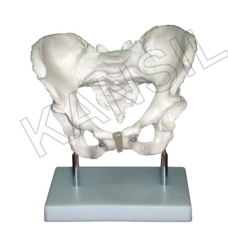 Adult Female Pelvis Model