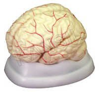 Brain with Arteries Model