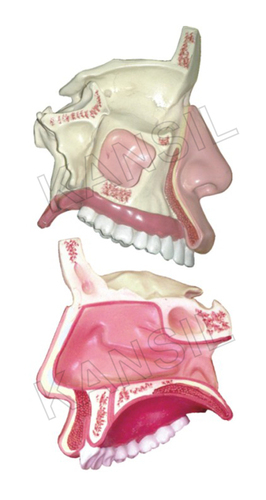 Model of the Anatomical Nasal Cavity Model