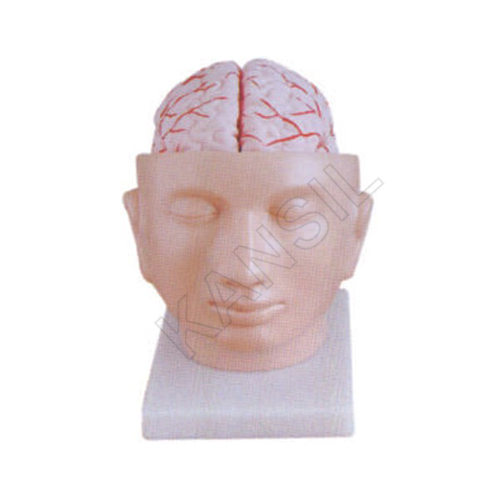 Brain With Artieries on Head Model