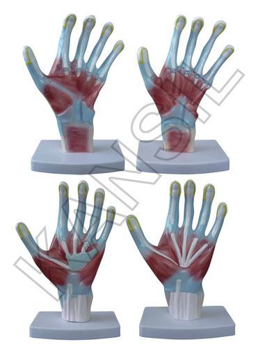 Palm Anatomy Model