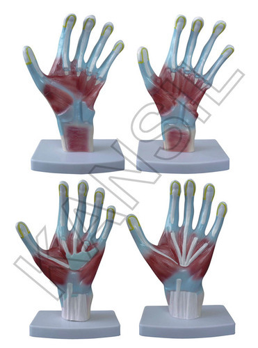 Palm Anatomy Model