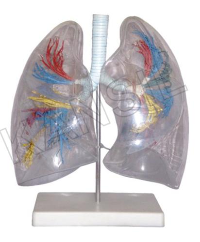 Model of the Transparent Lung Segment Model
