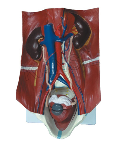 Urinary System Model