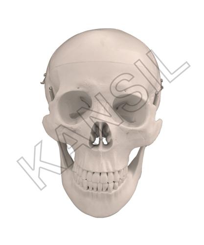 Human Skull Model Dx. Model