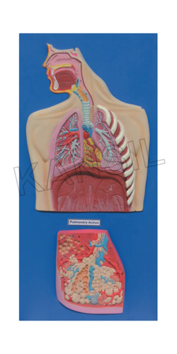 Human Respiratory System Model