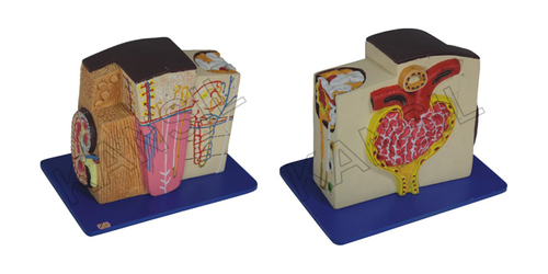 Kidney Microstructure Model