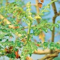 Boswellia Serrata