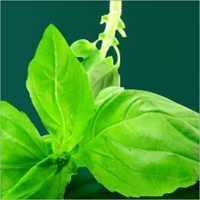 Leptadenia Reticulata
