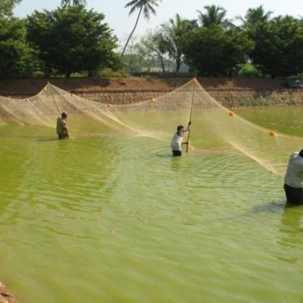 Pond Culture