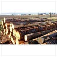 Australian Pine Wood