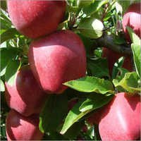 Red Delicious (Royal) Apple