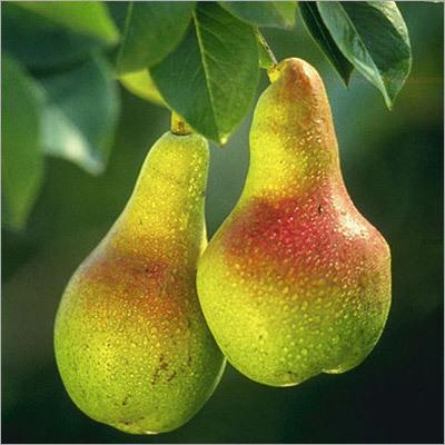 Pear (Tumba)