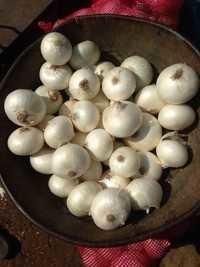 Small White Onion