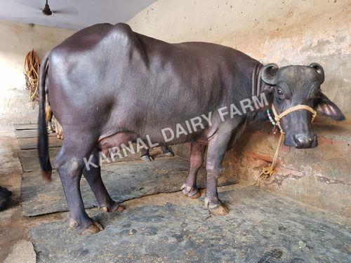 Murrah Haryana Buffalo