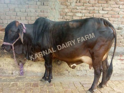 Sahiwal Cow