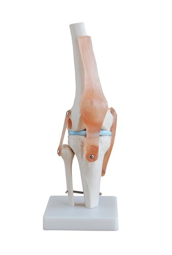 Life-Size Knee Joint