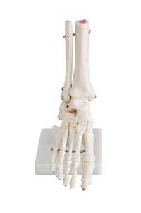 Life Size Foot Joint