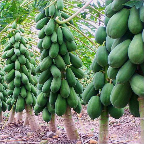 Tissue Culture Papaya