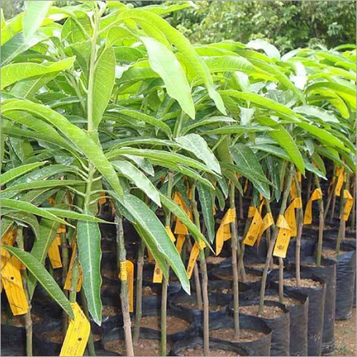 Mango Grafted Plants
