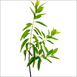 White Sandalwood Plant