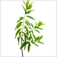 White Sandalwood Plant
