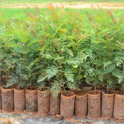 Silver Oak Seedlings