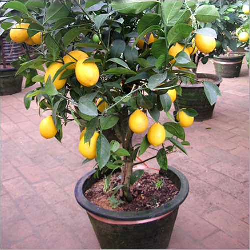 Lemon Plants