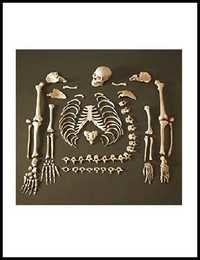 Disarticulated Human Skeleton (bilateral)