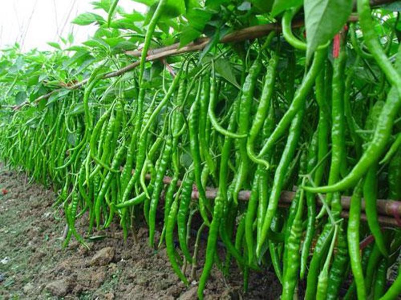 Fresh Cut Green Chilli