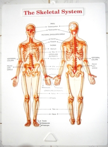 Anatomy Posters