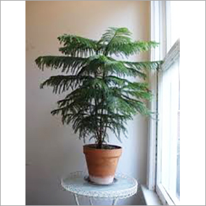 Araucaria Indoor Plant Services