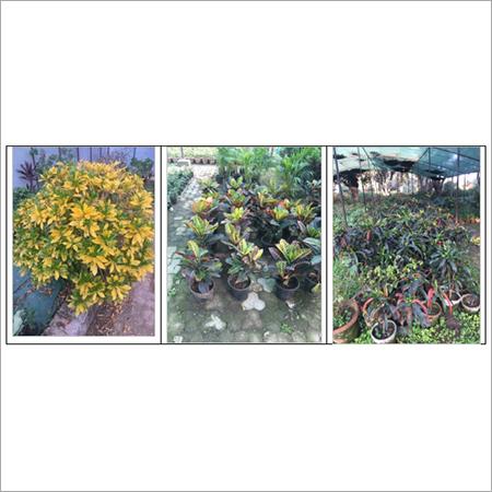 Croton Plant Care Service Provider