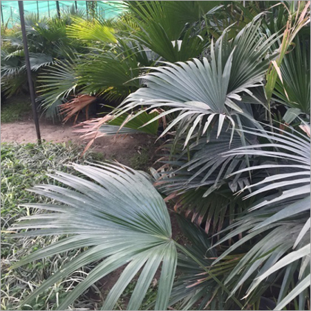 Desi Livistonia Palm Landscaping Services