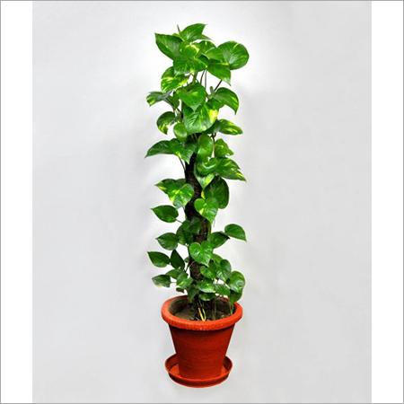 Money Plant Indoor Plant Services