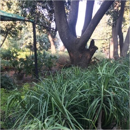 Nolina Gardening Service Provider