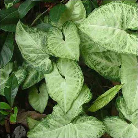 Sygonium Plants