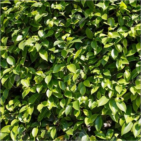 Ficus Green