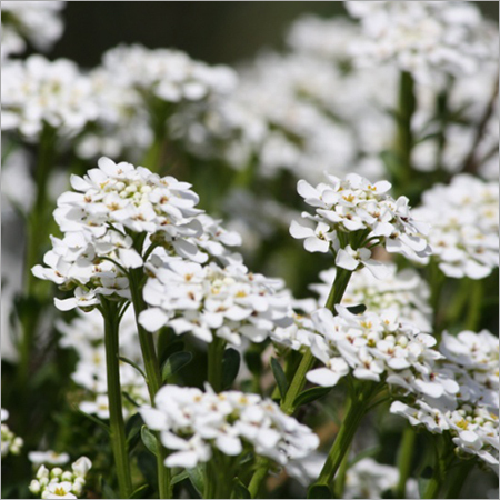 Alyssum Indoor Plant Services