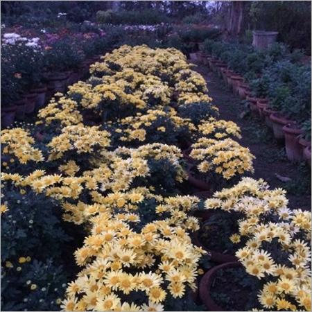 Chrysanthemum Planting Services