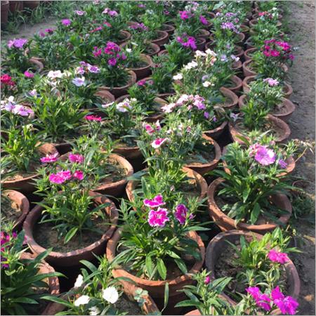 Dianthus Gardening Services