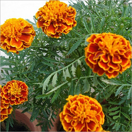 French Marigold Inplant Services