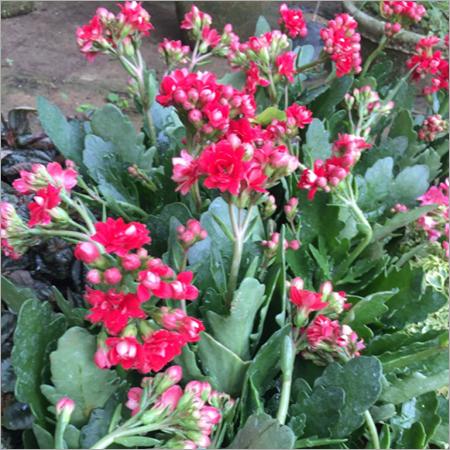 Kalanchoe Plant Care Services
