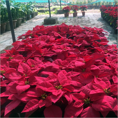 Poinsettia Landscaping Services