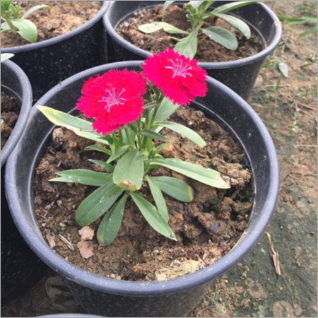 Flowering Shrubs Heaze