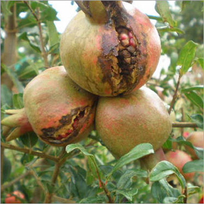 Bacterial Blight Control Pomegranate