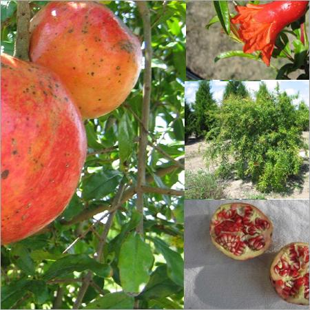 Paclobutrazol for Pomegranate Fruit