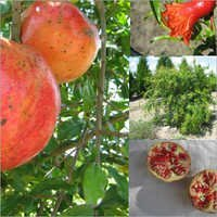 Paclobutrazol for Pomegranate Fruit